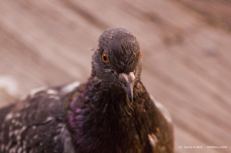 NYC pigeon